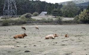 Los lobos matan tres chotos en un prado de Gudillos durante el último mes