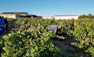 Arranca la vendimia en la DO Cigales con la recogida de uva para la elaboración de blancos