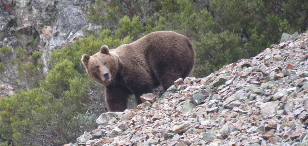 Buscan a un oso pardo herido en un accidente en la Montaña Palentina