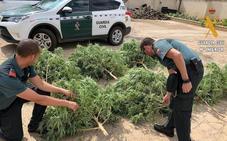 La Guardia Civil incauta ocho plantas de marihuana a un vecino de Herrera