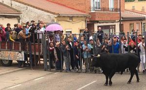 El toro del Adaja y King África llenan las calles de Valdestillas