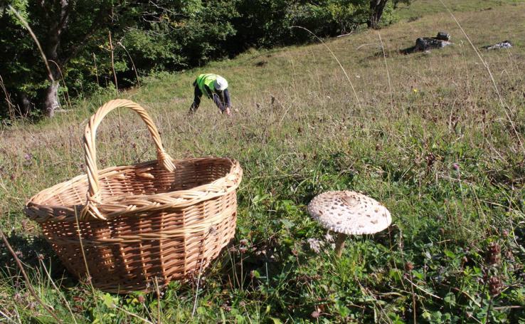 La temporada micologica arranca con fuerza en la Montaña Palentina