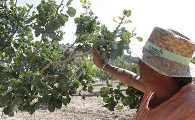 Se triplica el cultivo del pistacho en Castilla y León por el alza de su demanda