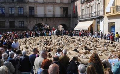 Medina del Campo revive sus cañadas con 300 ovejas en el casco histórico