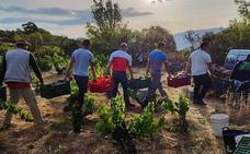 La DOP Cebreros pone fin a una vendimia marcada por la sequía con 665.000 kilos de uva