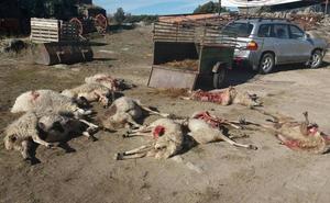Una sentencia europea autoriza de forma excepcional y limitada la caza del lobo cuando no existan alternativas