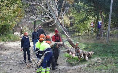 El pino seco de El Espinar que revivirá en escultura y viajará a Houston