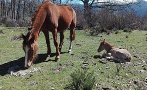 Detenidos dos empresarios de Palazuelos que exportaban caballos por delitos contra la hacienda pública y blanqueo de capitales