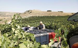La sequía reduce el volumen de uva en vendimia pero no la calidad