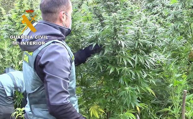 Un agente muestra una de las plantas.