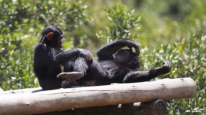 Descifran el lenguaje de gestos de los chimpancés