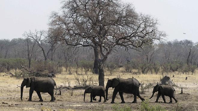 Los elefantes tienen el olfato más poderoso del reino animal
