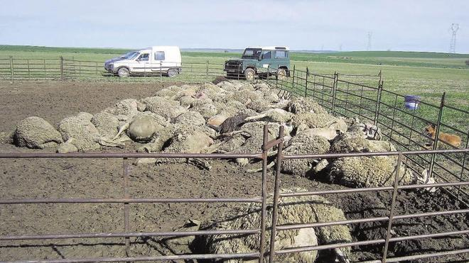 Las manadas de lobos se duplican en Segovia