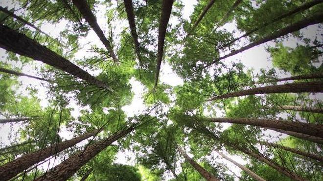 Un bosque de árboles gigantes en Cabezón de la Sal