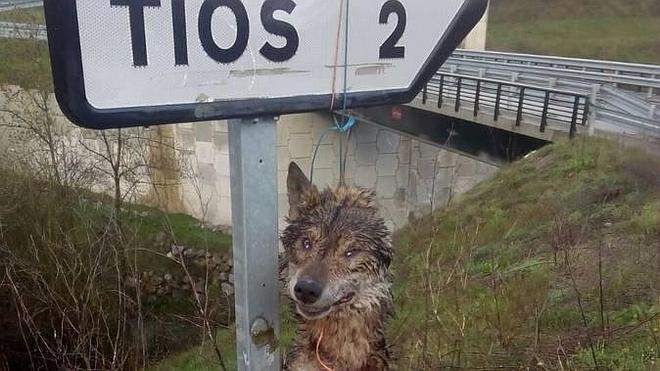 Hallado el cadáver de un lobo colgado de una señal en un municipio asturiano