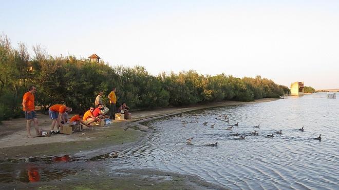 La Casa del Parque de Villafáfila acoge una jornada de anillamiento de gaviotas reidoras