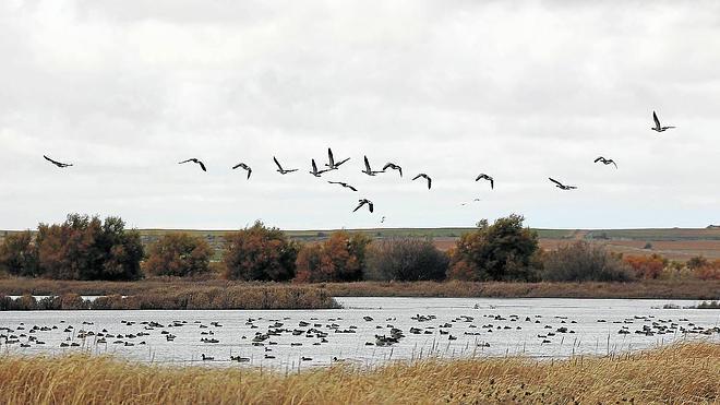 Grupos ecologistas piden que se prohíba la caza de ánsares en la laguna de la Nava