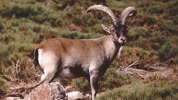 Guadarrama plantea reducir un 30% la población de cabras por la ...