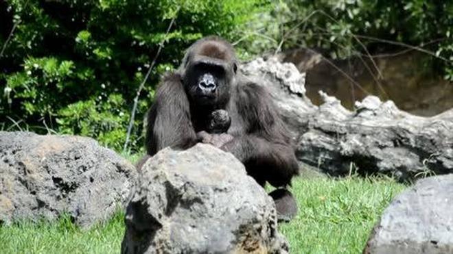 Una gorila da a luz ante los turistas del Bioparc en Valencia
