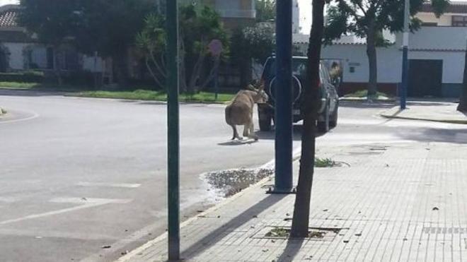 Arrastra a un burro atado por la cabeza a su todoterreno