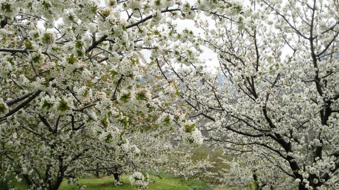 Dónde y cuándo ver los cerezos en flor